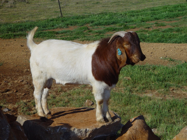 Prime Quality Boer Bucks Registered 'Dougie' 3