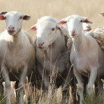 1-12 month old ewes and rams