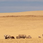 Cattle-grazing-on-dry-yellow.v3