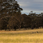 bigstock-Kangaroo-Hiding-In-Toll-Grass–33233618