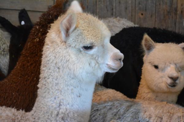 Young Huacaya Alpaca Victoria