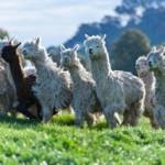 Suri Alpacas on farm